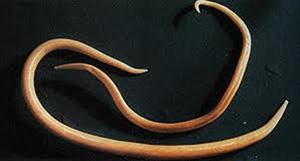 Le tableau des analyses sur les parasites