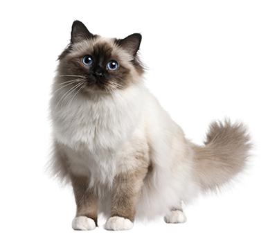 L'allergie aux poils de chat   Alvetia